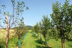 Îngrijirea pomilor în primii ani de la plantare